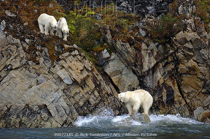 Polar Bear (Ursus maritimus) mother and cubs on rocky coastline, Spitsbergen, Norway  -  Rick Tomlinson/ npl