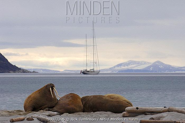 Walrus (Odobenus rosmarus) on beach, Spitsbergen, Norway Superyacht Adele is anchored in the background  -  Rick Tomlinson/ npl