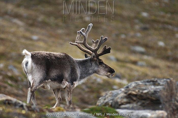 Caribou (Rangifer tarandus) roaming coast of Spitsbergen, Svalbard, Norway  -  Rick Tomlinson/ npl