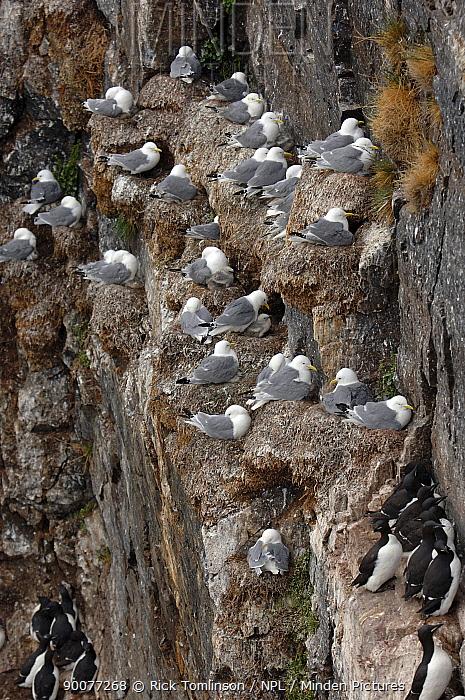 Herring Gull (Larus argentatus) nesting on cliff edge, Spitsbergen, Svalbard, Norway  -  Rick Tomlinson/ npl