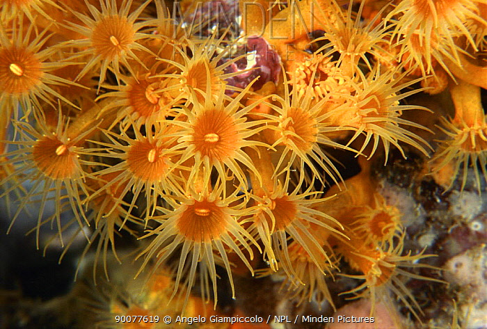 Cnidarian (Parazoanthus sp) colony, Marina di Camerota, Campania, Italy  -  Angelo Giampiccolo/ npl