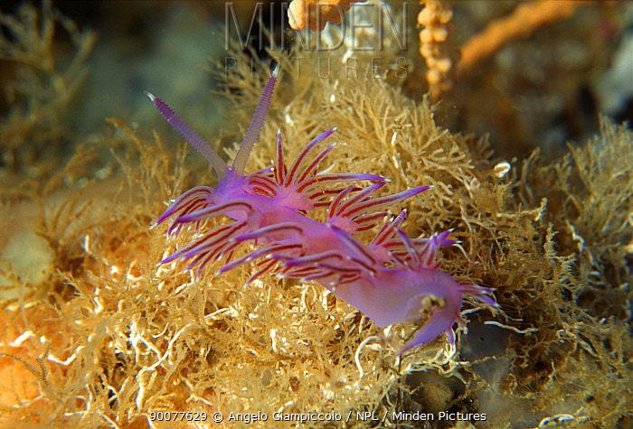 Nudibranch (Hypselodoris valenciennesi) at the entrance of the Alabaster Cave, Marina di Camerota, Campania, Italy  -  Angelo Giampiccolo/ npl
