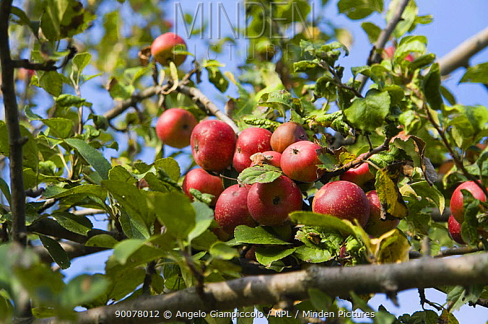 Persimmon apple tree (Diospyros sp) in Autumn, Rome, Italy  -  Angelo Giampiccolo/ npl