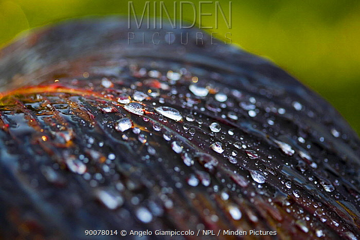 Dew drops on a leaf, Manziana, Rome, Italy  -  Angelo Giampiccolo/ npl