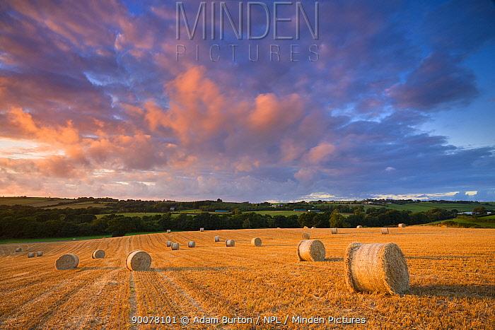 Circular straw bales at harvest time in a mid-Devon field, England  -  Adam Burton/ npl
