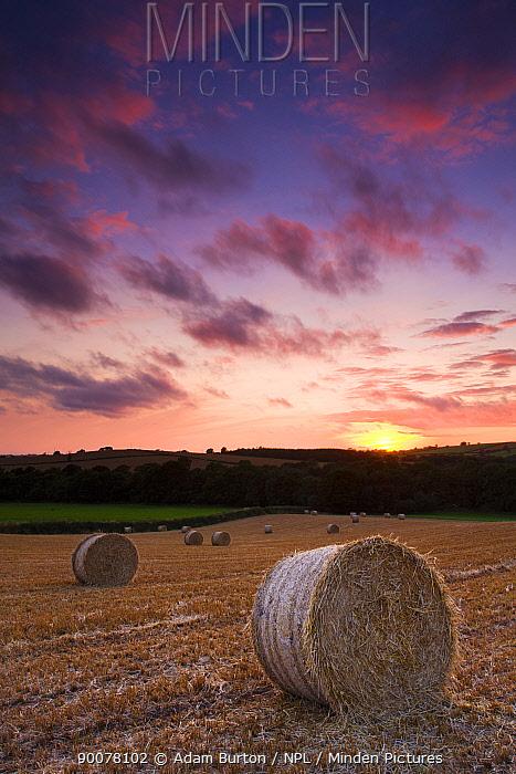 Round straw bales at harvest time in a mid-Devon field, England  -  Adam Burton/ npl