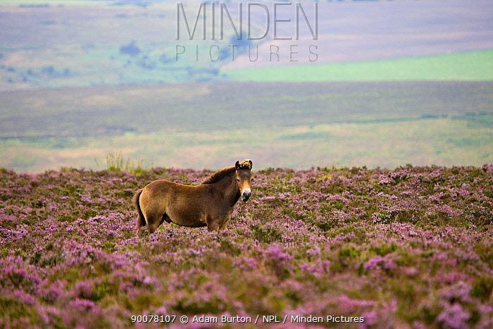 Exmoor pony (Equus caballus) roaming wild over the heather carpeted moors in late summer, Exmoor National Park, Somerset, England  -  Adam Burton/ npl