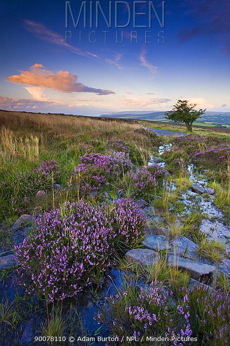 Bell Heather (Erica cinerea) growing on Dunkery Hill in Exmoor National Park, Somerset, England  -  Adam Burton/ npl