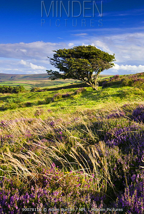 Windblown tree on Porlock Common in the summertime, Exmoor National Park, Somerset, England  -  Adam Burton/ npl