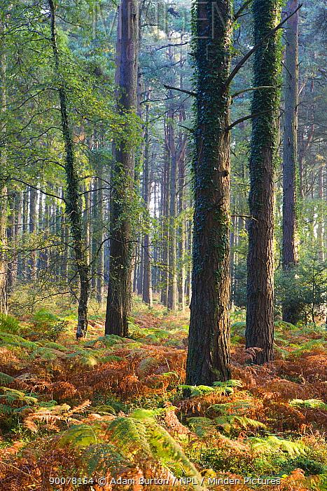 Autumn colours in Luccombe Plantation, Exmoor National Park, Somerset, England  -  Adam Burton/ npl