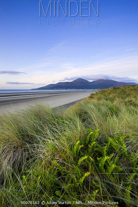 Ferns growing amongst the sand dunes at Murlough Nature Reserve, with views to Dundrum Bay and the Mountains of Mourne beyond, County Down, Northern Ireland  -  Adam Burton/ npl