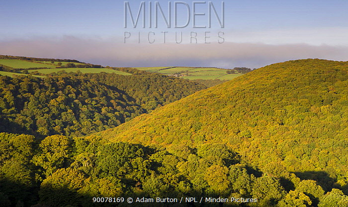 Autumn colours in Horner Wood, viewed from Webbers Post On the horizon, a band of fog creeps inland off the sea, Exmoor National Park, Somerset, England  -  Adam Burton/ npl