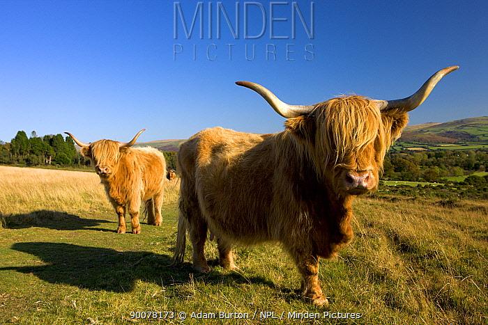 Highland Cattle grazing on Dartmoor National Park, Devon, England  -  Adam Burton/ npl