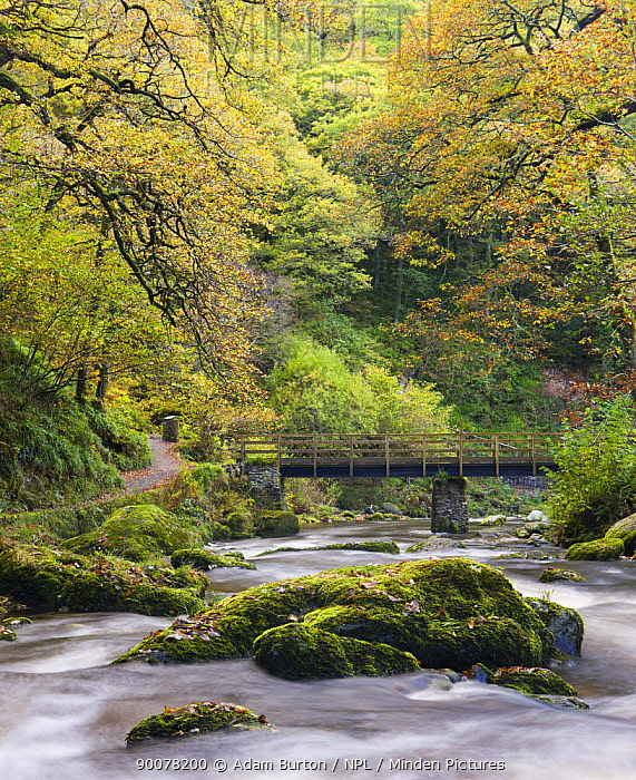 The East Lyn River rushes between mossy boulders at Watersmeet in the autumn, Exmoor National Park, Devon, England  -  Adam Burton/ npl