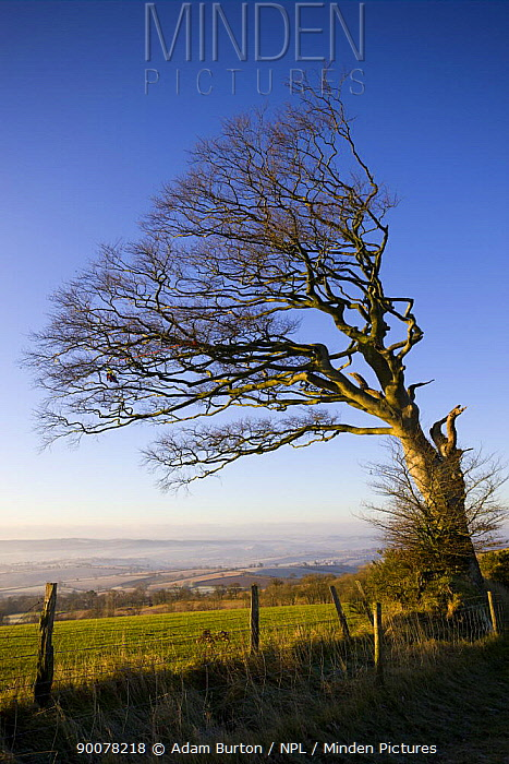 Windswept beech tree on Raddon Hill, Devon, England, December 2008  -  Adam Burton/ npl
