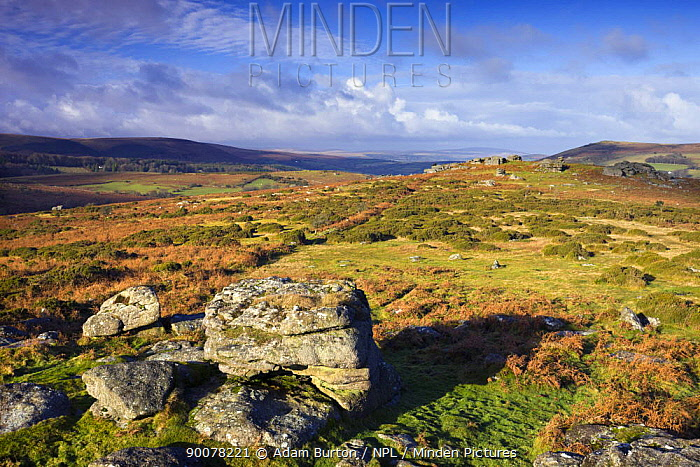 Granite boulders on Hayne Down, Dartmoor National Park, Devon, England, December 2008  -  Adam Burton/ npl