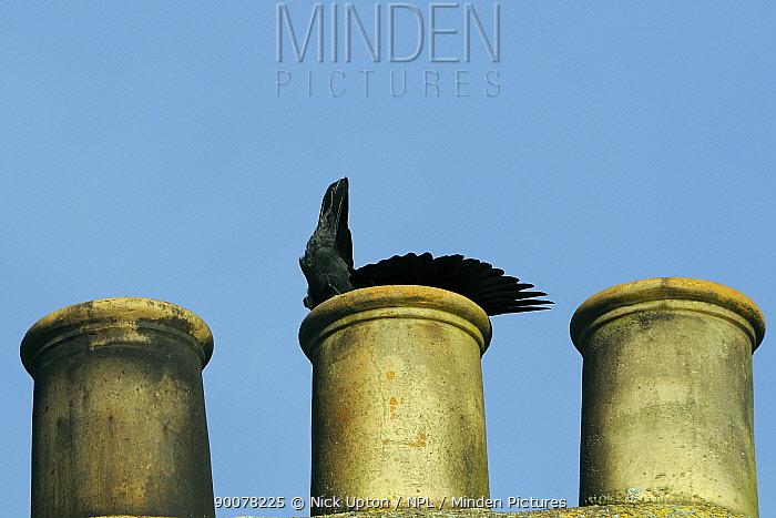 Eurasian Jackdaw (Corvus monedula) drops into its nest site inside a chimneypot, Wiltshire, United Kingdom  -  Nick Upton/ npl