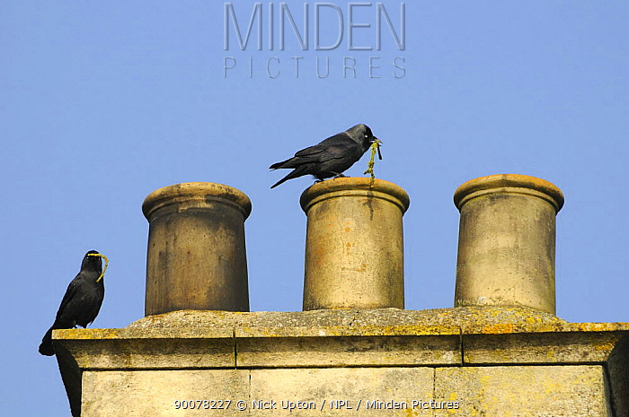 Eurasian Jackdaw (Corvus monedula) perch on chimney pot with sticks for the nest they are building inside, Wiltshire, United Kingdom  -  Nick Upton/ npl