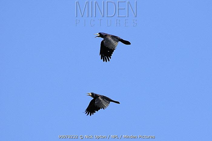 Rook (Corvus frugilegus) pair performing courtship pursuit flight and calling, Wiltshire, United Kingdom early spring  -  Nick Upton/ npl