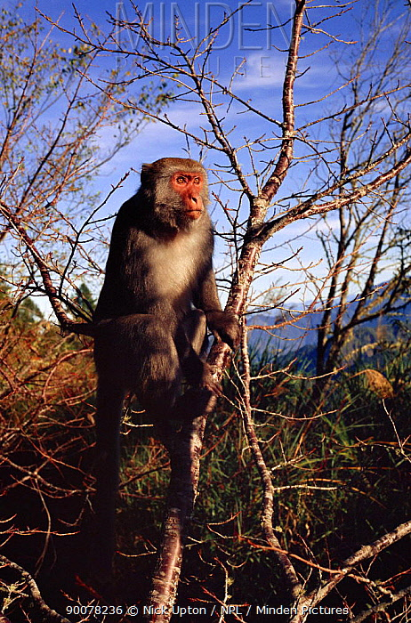 Formosan Macaque (Macaca cyclopis) basking in sunshine at dawn, 2600m high in Taiwan's mountains near Alishan Macaques can become frostbitten at this altitude  -  Nick Upton/ npl