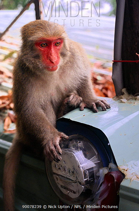 Formosan Macaque (Macaca cyclopis) and electricty meter, Kaohsiung city, Taiwan  -  Nick Upton/ npl