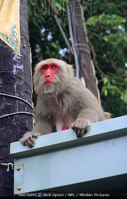 Formosan Macaque (Macaca cyclopis) watching fruit stall intently, Kaohsiung city, Taiwan This very red faced animal is a high ranking female  -  Nick Upton/ npl