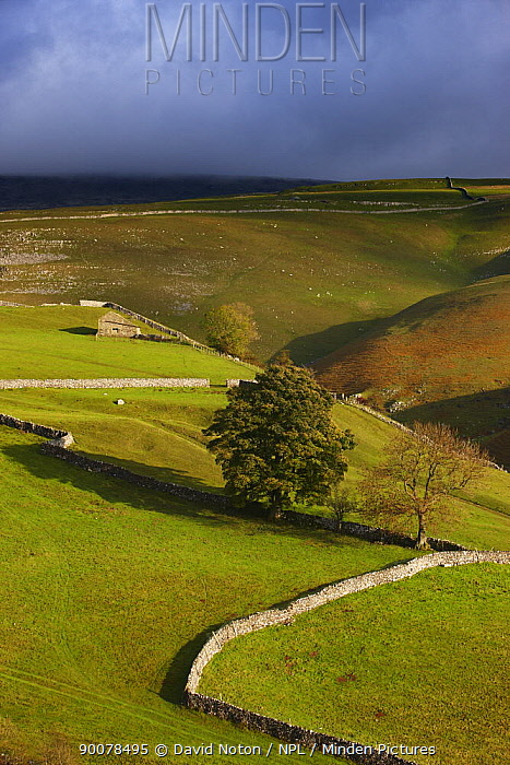 Stone walls and barns nr Kettlewell, Wharfedale, Yorkshire Dales National Park, England, UK, October 2008  -  David Noton/ npl
