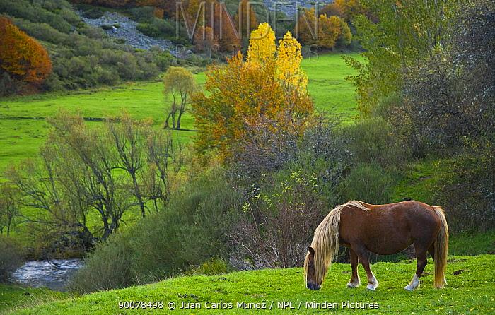 Horse grazing in mountain valley, autumn, Casasuertes, Picos de Europa NP, Leon, Northern Spain October 2006  -  Juan Carlos Munoz/ npl
