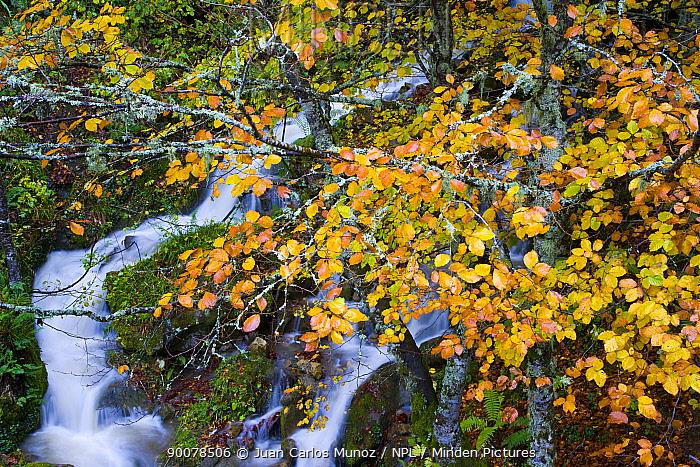 Mountain stream in autumn with beech trees, Picos de Europa NP, Raino, Leon, Northern Spain  -  Juan Carlos Munoz/ npl