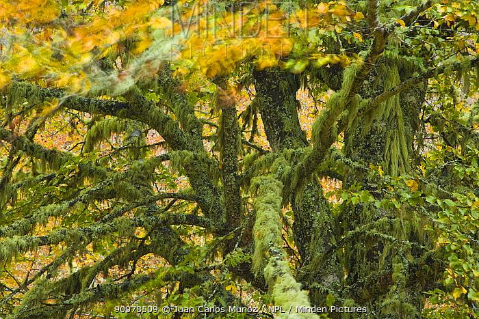 Lichen covered Beech tree in autumn, Picos de Europa NP, Raino, Leon, Northern Spain  -  Juan Carlos Munoz/ npl