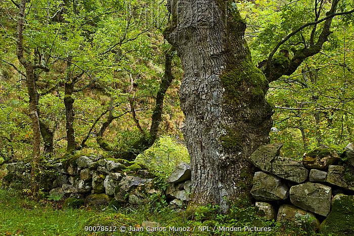 Oak tree beside the Ruta del Cares path, Pico de Europa NP, Leon, Northern Spain October 2006  -  Juan Carlos Munoz/ npl