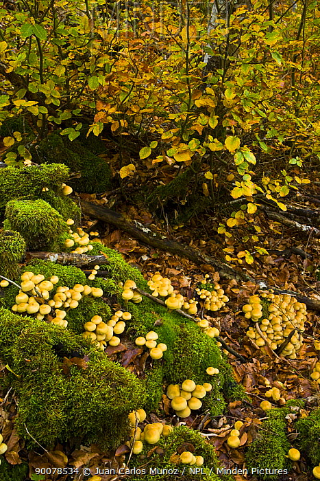 Beech woodland in autumn, Riano, Picos de Europa NP, Leon, Northern Spain  -  Juan Carlos Munoz/ npl