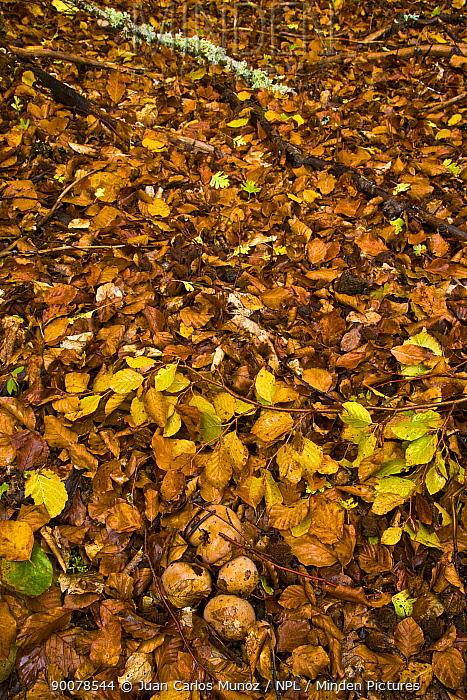 Fungus growing up through the leaf litter in woodland in autumn, Riano, Picos de Europa NP, Leon, Northern Spain  -  Juan Carlos Munoz/ npl