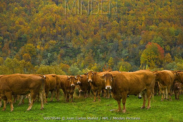 Herd of cattle in autumn, Riano, Picos de Europa NP, Leon, Northern Spain  -  Juan Carlos Munoz/ npl