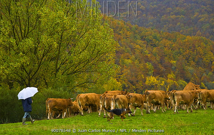 Cattle being herded by man and dog, Riano, Picos de Europa NP, Leon, Northern Spain  -  Juan Carlos Munoz/ npl