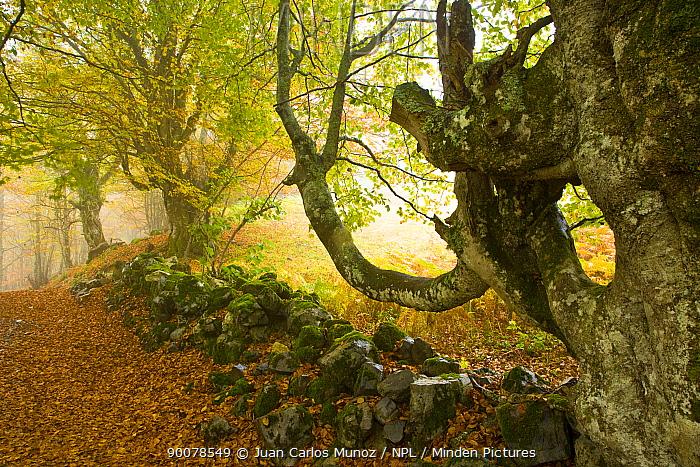 Beech woodland in the autumn, deciduous atlantic forest, Taballon de Mongayu, Redes NP, Asturias, Northern Spain, October 2007  -  Juan Carlos Munoz/ npl