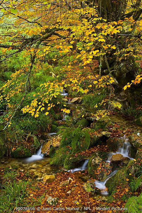 Stream running through Beech woodland in the autumn, deciduous atlantic forest, Taballon de Mongayu, Redes NP, Asturias, Northern Spain, October 2007  -  Juan Carlos Munoz/ npl