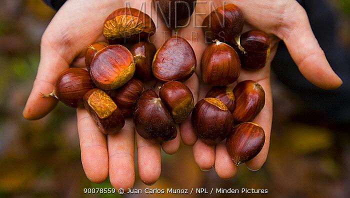European Chestnut (Castanea sativa) chestnuts Redes National Park, Asturias, Northern Spain  -  Juan Carlos Munoz/ npl