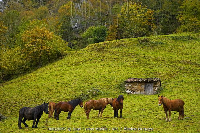 Horses in the Redes NP, Ruta del Alba path, Asturias, Northern Spain, October 2007  -  Juan Carlos Munoz/ npl
