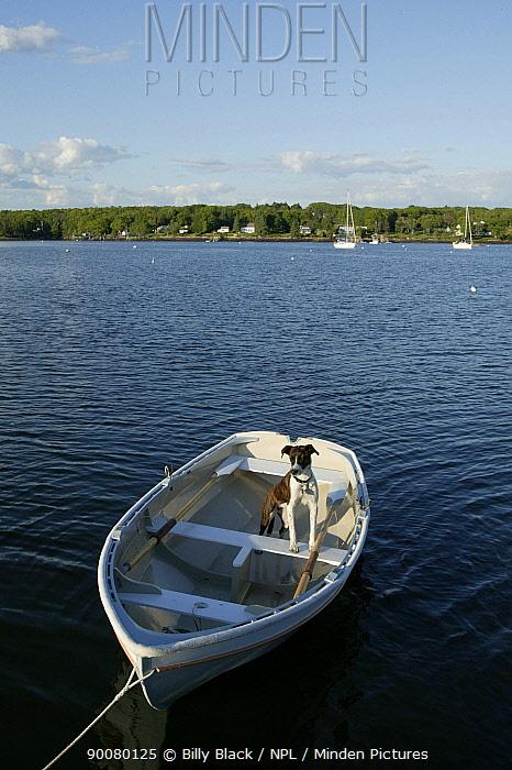 Mixed breed dog (Canis familiaris) in tethered tender, Narragansett Bay, Newport, Rhode Island June 2005  -  Billy Black/ npl