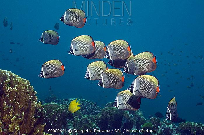 Collared Butterflyfish (Chaetodon collare) Andaman Sea, Thailand  -  Georgette Douwma/ npl