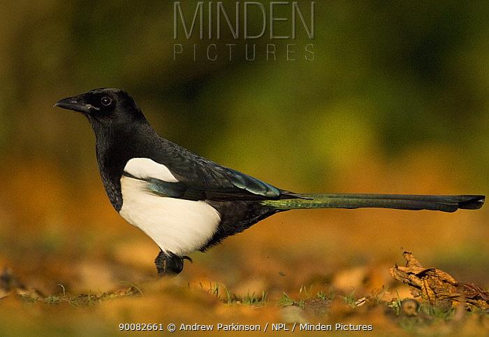 Black-billed Magpie (Pica pica) profile, Derbyshire, United Kingdom  -  Andrew Parkinson/ npl