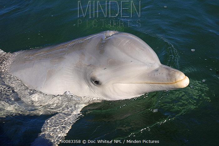 Bottlenose Dolphin (Tursiops truncatus), Eastern Pacific  -  Doc White/ npl