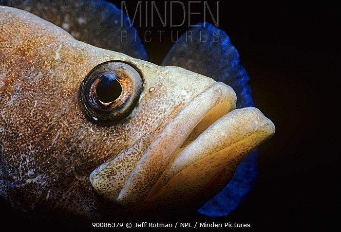 Greater soapfish (Rypticus saponaceus) close-up of face, Bahamas, Caribbean Sea  -  Jeff Rotman/ npl