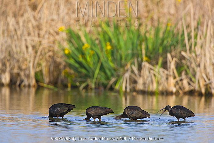 Glossy Ibis (Plegadis falcinellus) feeding in wetlands, Andalucia, Spain  -  Juan Carlos Munoz/ npl