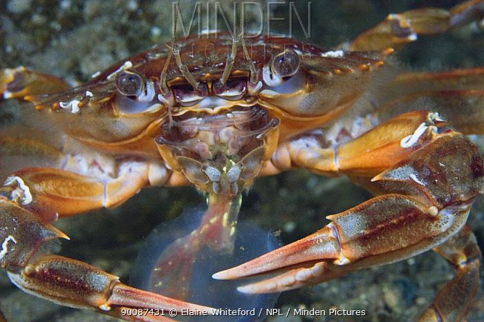 Harbour crab (Liocarcinus depurator) feeding on sea squirt (Corella parallelogramma) in Loch Long, Scotland  -  Elaine Whiteford/ npl