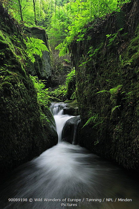 Halerbach, Haupeschbach, a small stream flowing past moss covered rocks in forest, Beaufort, Mullerthal, Luxembourg, May 2009  -  WWE/ Tonning/ npl