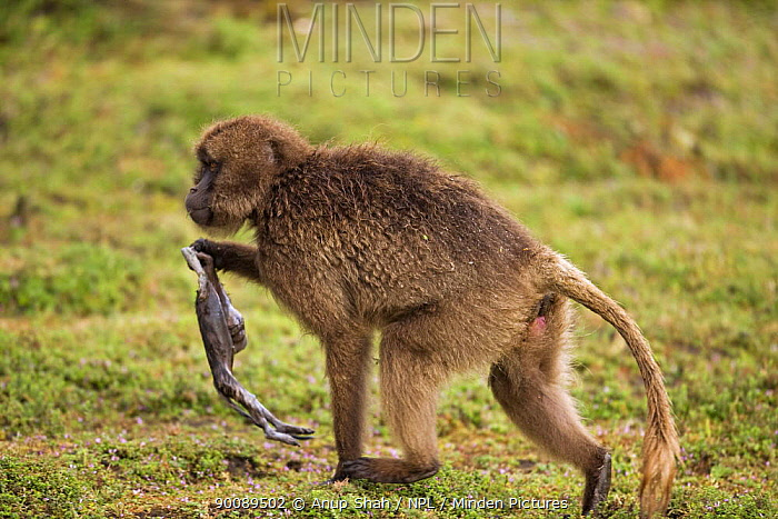 Gelada Baboon (Theropithecus gelada) female carrying her dead foetus, Simien Mountains National Park, Ethiopia  -  Anup Shah/ npl