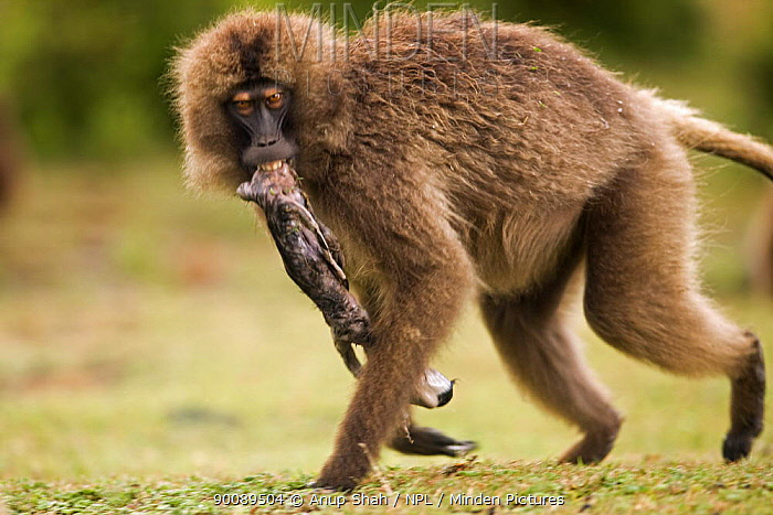 Gelada Baboon (Theropithecus gelada) female carrying her dead foetus in her mouth, Simien Mountains National Park, Ethiopia  -  Anup Shah/ npl