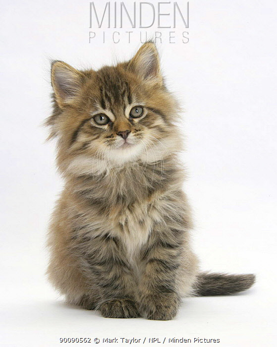 Maine Coon kitten, 7 weeks  -  Mark Taylor/ npl